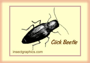 Click Beetle in insectgraphics Archives