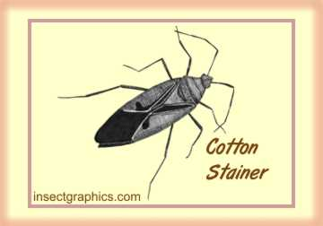 Cotton Stainer in insectgraphics Archives