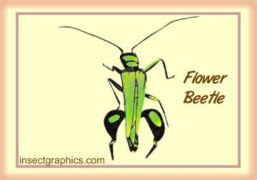 Flower Beetle in insectgraphics Archives