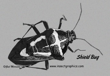 Shield Bug postcard